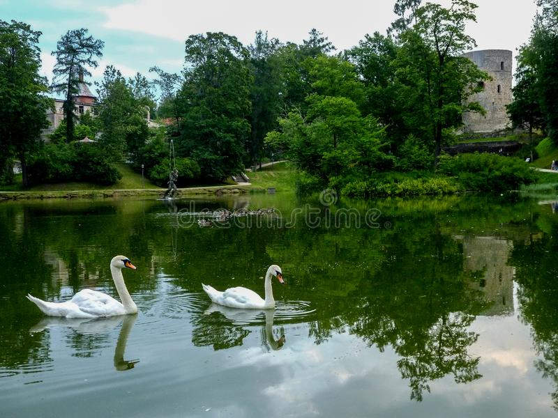 Swan family in lake in latvia cesis and cesis castle stock image