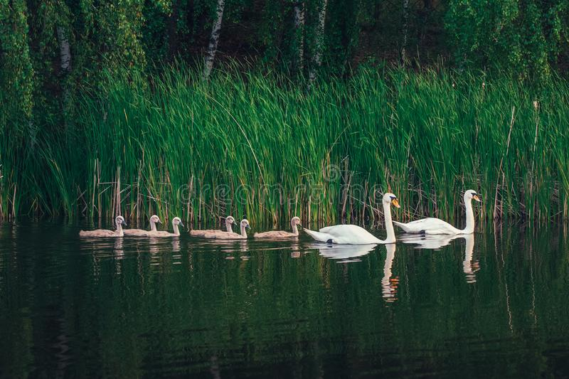 Swan family on the lake. Swan family. White swan with cygnets swimming in the lake near the shore. Young swans still with the grey color plumage royalty free stock photography