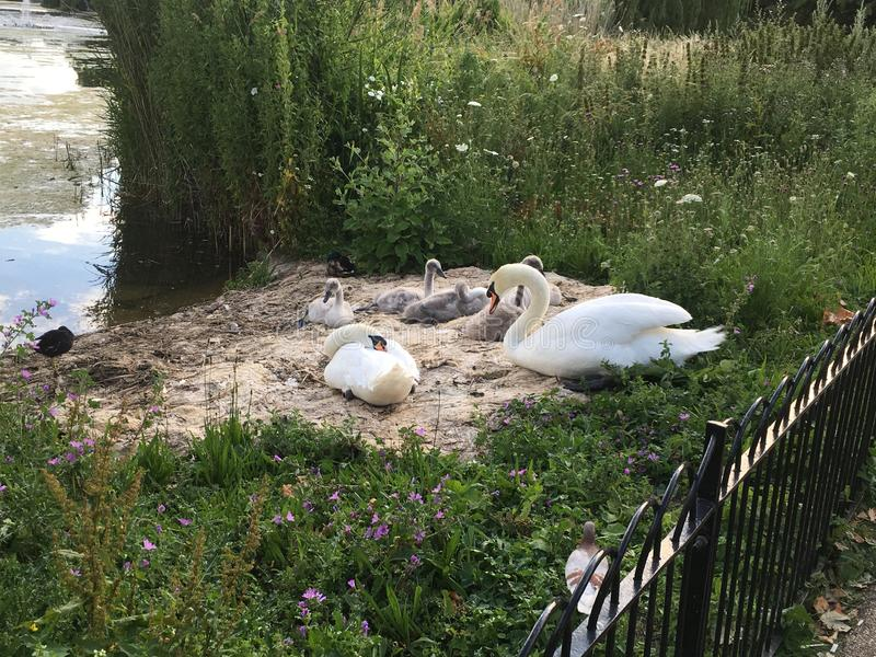 The Swan Family In The Middle of London, UK stock photography