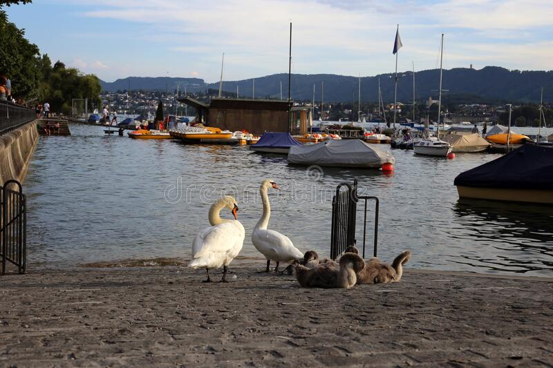 Swan Family be a River during a Beautiful Summer Evening in Zurich, Switzerland stock image