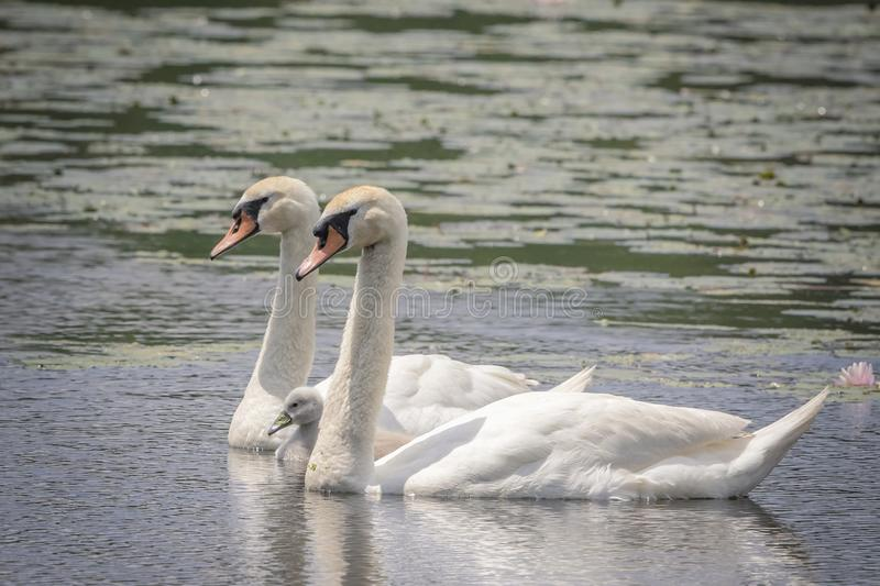 Swan Family in Pleasant Valley, NY. A Swan Family in Pleasant Valley, NY Hudson Valley. This image was taken by Debbie Quick from Debs Creative Images. To see royalty free stock photos