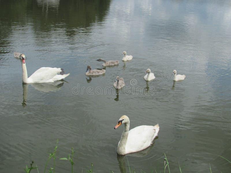 Swan family on a pond stock photos