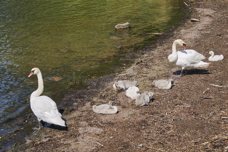 Swan family on a sandy beach royalty free stock images