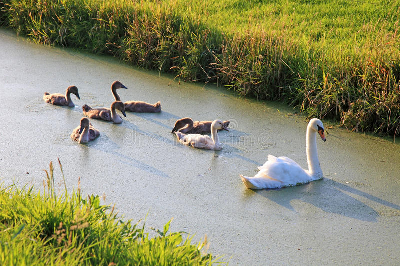 Download Swan family swimming. stock image. Image of netherland - 18174751