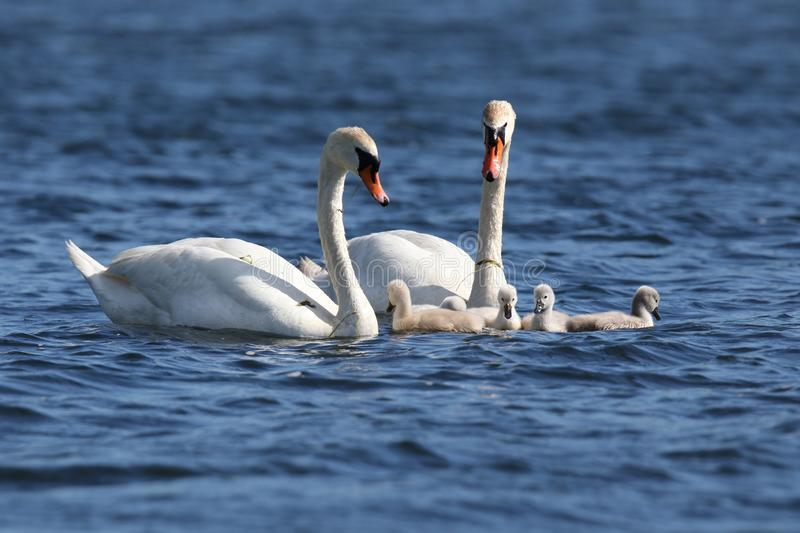Swan Family Swimming Together on a Blue Lake royalty free stock photo