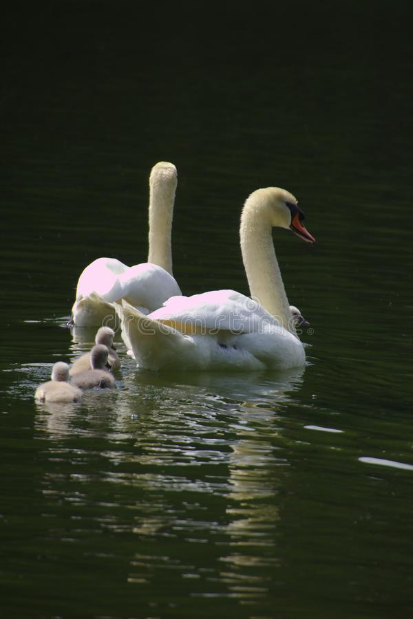 A swan family with three chicks swimming in the lake stock photography