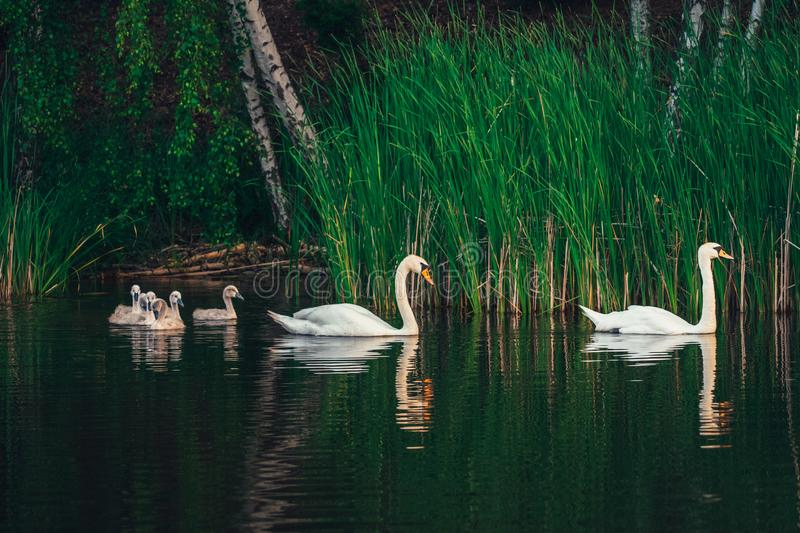 Swan family on the lake. Swan family. White swan with cygnets swimming in the lake near the shore. Young swans still with the grey color plumage royalty free stock images