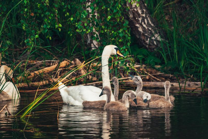 Swan family on the lake. Swan family. White swan with cygnets swimming in the lake near the shore. Young swans still with the grey color plumage stock photos
