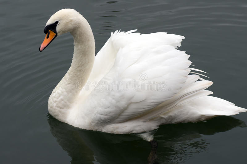 Swan. With fine fishing wire around neck highlights dangers to this beautiful creature royalty free stock image