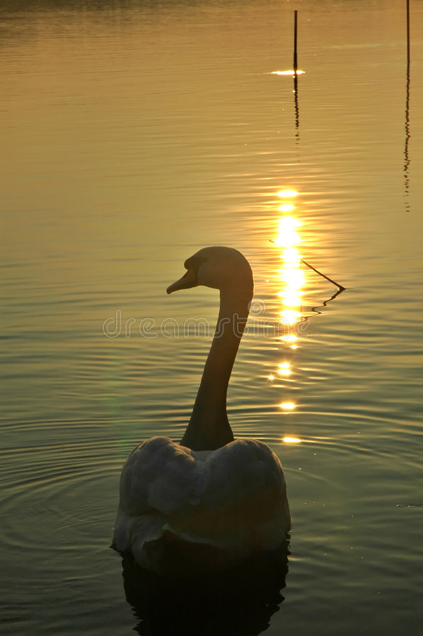 Free Swan Floating At The Sunset Royalty Free Stock Photo - 2117565