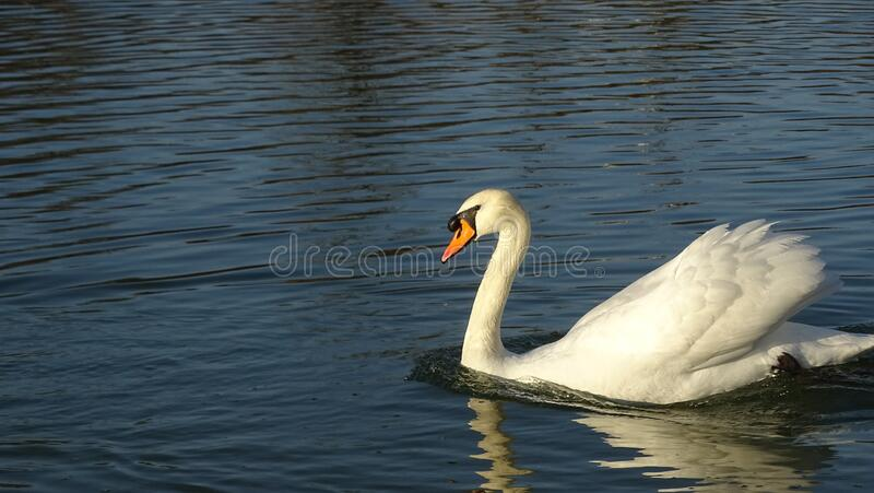 Swan floating on a pond stock photos