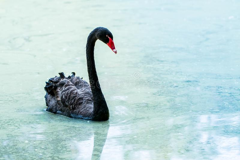 Swan floating on the water at sunrise of the day. Swan floating on the water at sunrise of the day royalty free stock photo