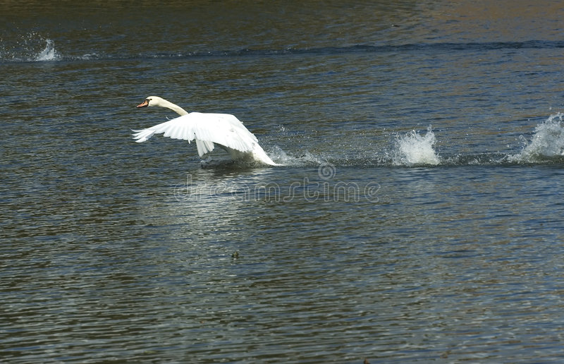 Swan flying stock images