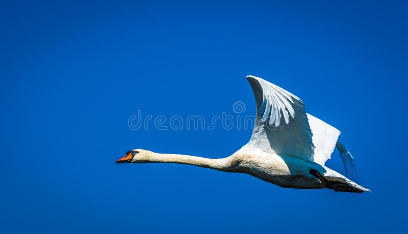 Swan flying against blue sky stock photos