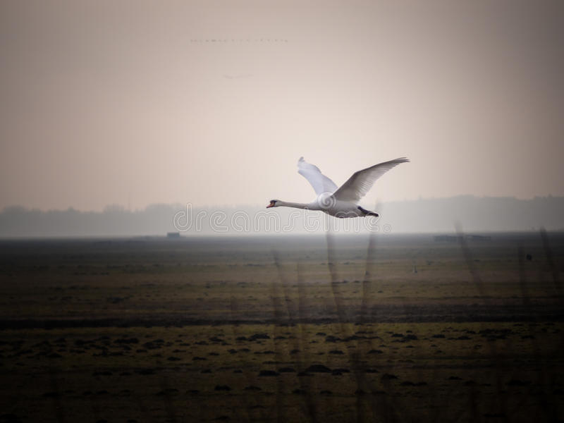 A swan flying by royalty free stock photo