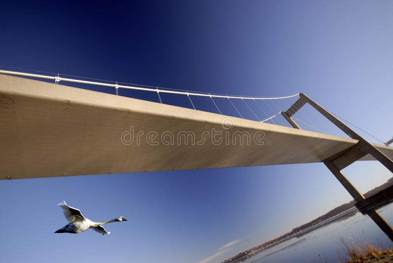 Swan flying under bridge royalty free stock image