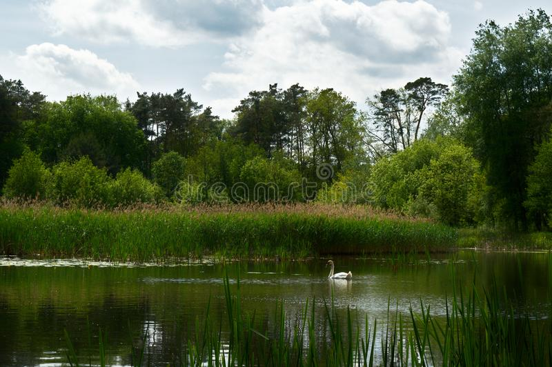 Swan on the forest lake royalty free stock photo