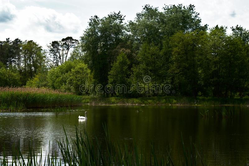 Swan on the forest lake stock photography