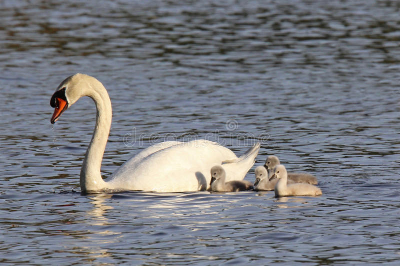 Swan and Four Cygnets stock photos