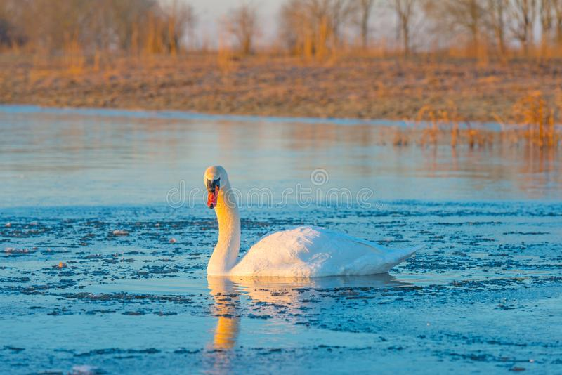 Swan in a frozen lake at sunrise royalty free stock photography