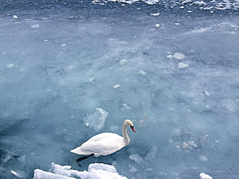 A swan in a frozen lake stock image