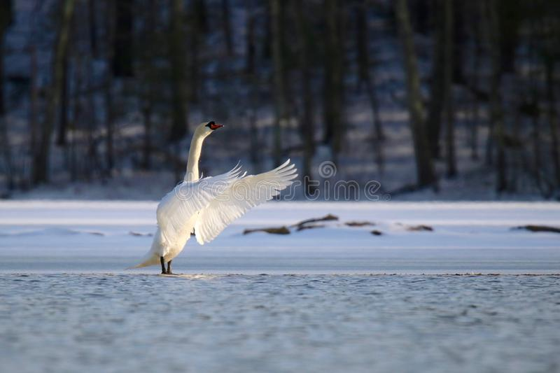 Swan on the Frozen Lake in Winter. A mute swan Cygnus olor standing on the ice of a partly frozen lake in Winter