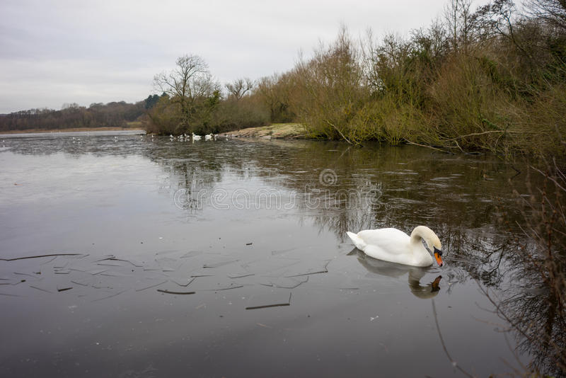 Swan in a frozen lake in the winter stock photography