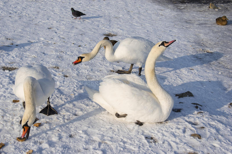 Swan on frozen river in winter photo. royalty free stock image