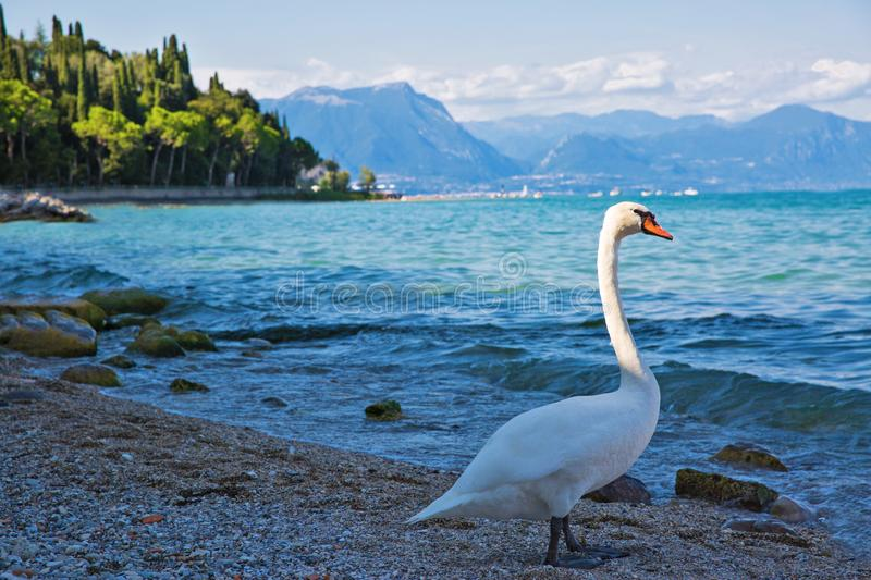 Swan on Garda lake, Sirmione, Italy. Beautiful view to the lake. And mountains royalty free stock photo