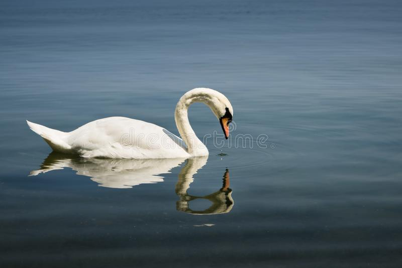 A swan gazes at its own reflection stock image