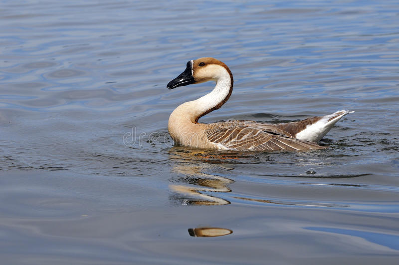 Download Swan goose stock image. Image of pause, poultry, water - 20701125