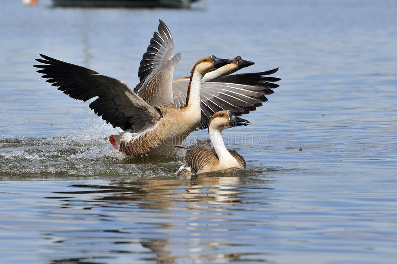 Download Swan goose stock photo. Image of anser, blue, male, image - 23349274