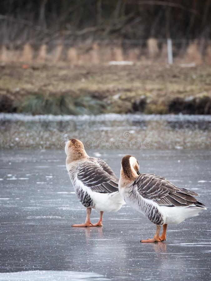 Swan goose Anser cygnoides on frozen lake, cleaning feather royalty free stock photo