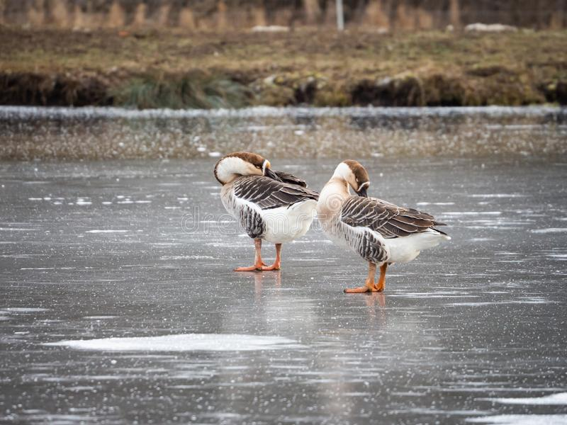 Swan goose Anser cygnoides on frozen lake, cleaning feather royalty free stock images