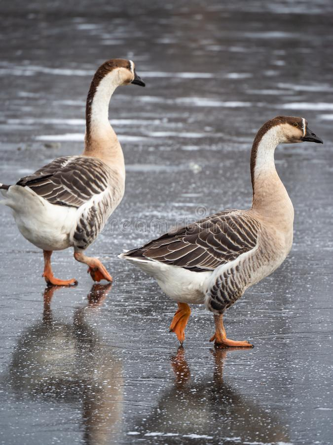 Swan goose Anser cygnoides on frozen lake stock photo