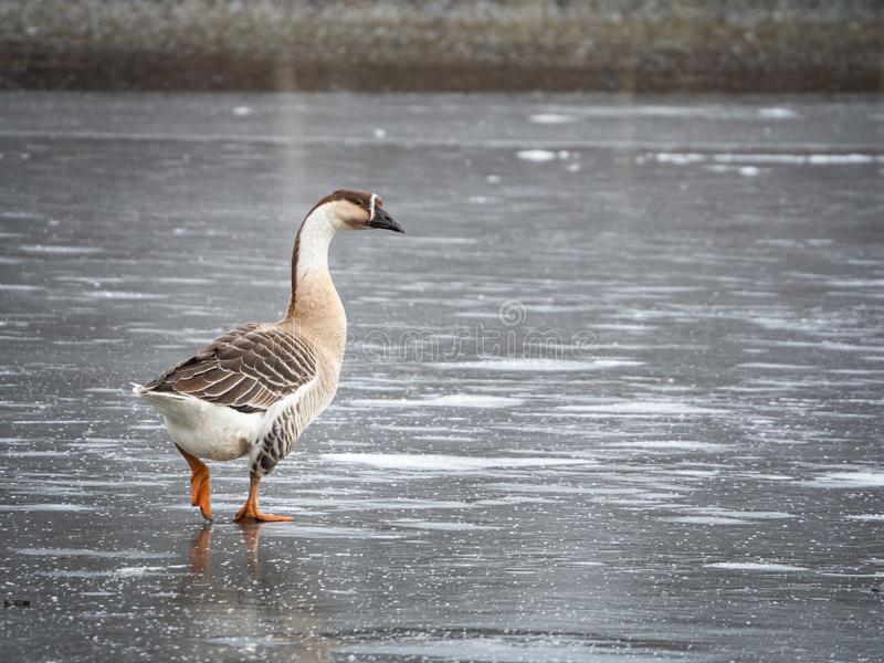 Swan goose Anser cygnoides on frozen lake royalty free stock photography