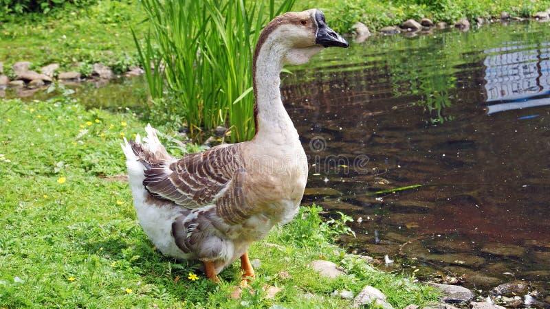 Download Swan goose stock photo. Image of head, portrait, nature - 31797556