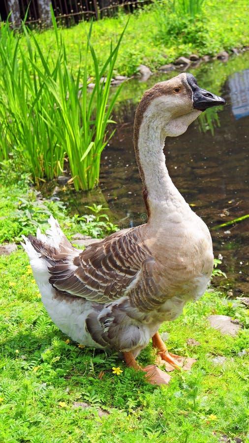 Download Swan Goose Royalty Free Stock Photos - Image: 31797578