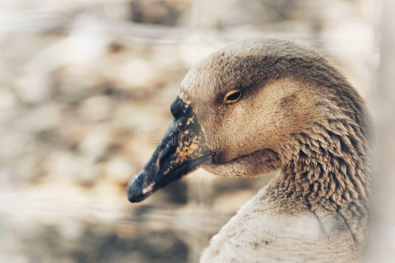 Swan Goose. Detail of head, black beak and black eye, white forehead, plumage, blurry background stock photos