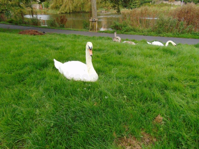Swan in Grass beside Lake stock photos