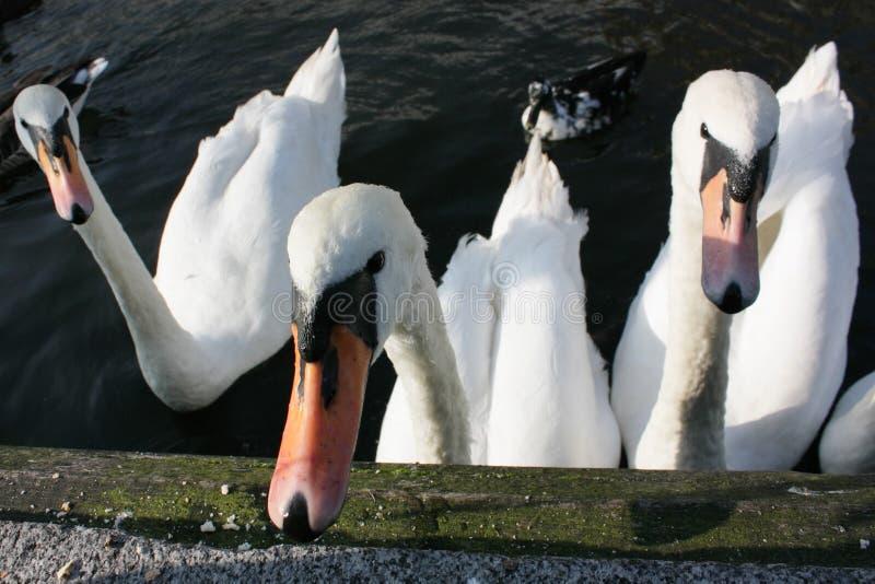 Download Swan group stock image. Image of swan, river, swimming - 7087481