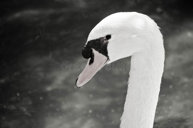 Swan head black and white photo. Argentina stock photography