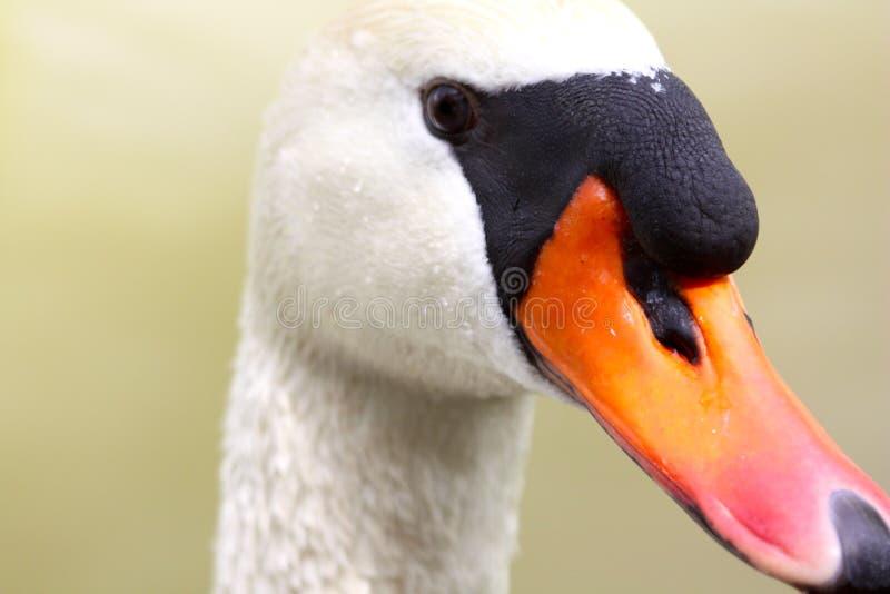 A swan head stock photography