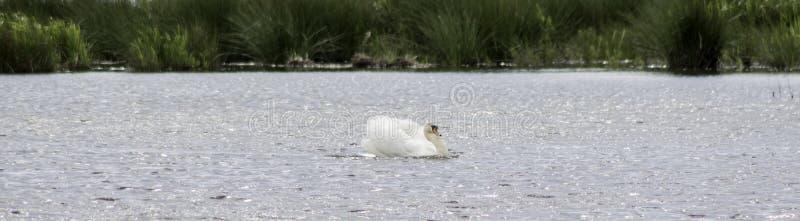 Swan header stock images