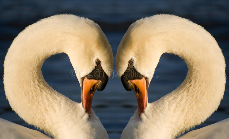 Download Swan Heart stock image. Image of birds, bonding, lovely - 11334315