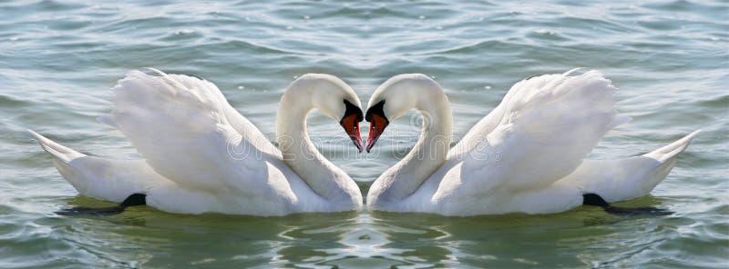 Swan heart royalty free stock image