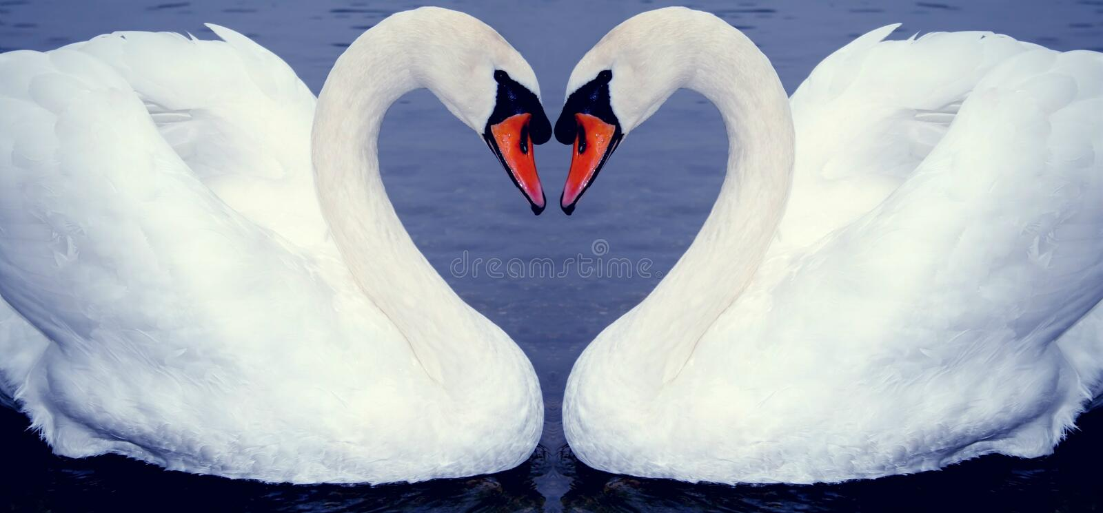Swan heart's royalty free stock photos