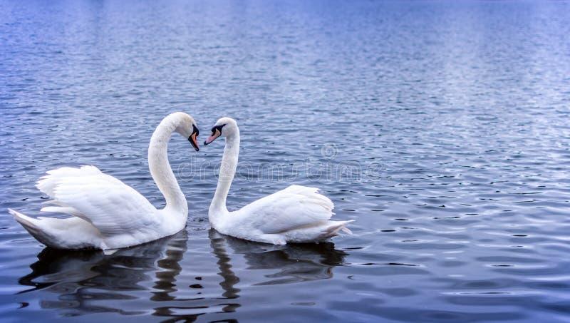 Swan heart stock photography