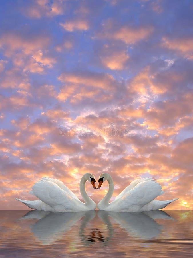 Swan hearts royalty free stock photo