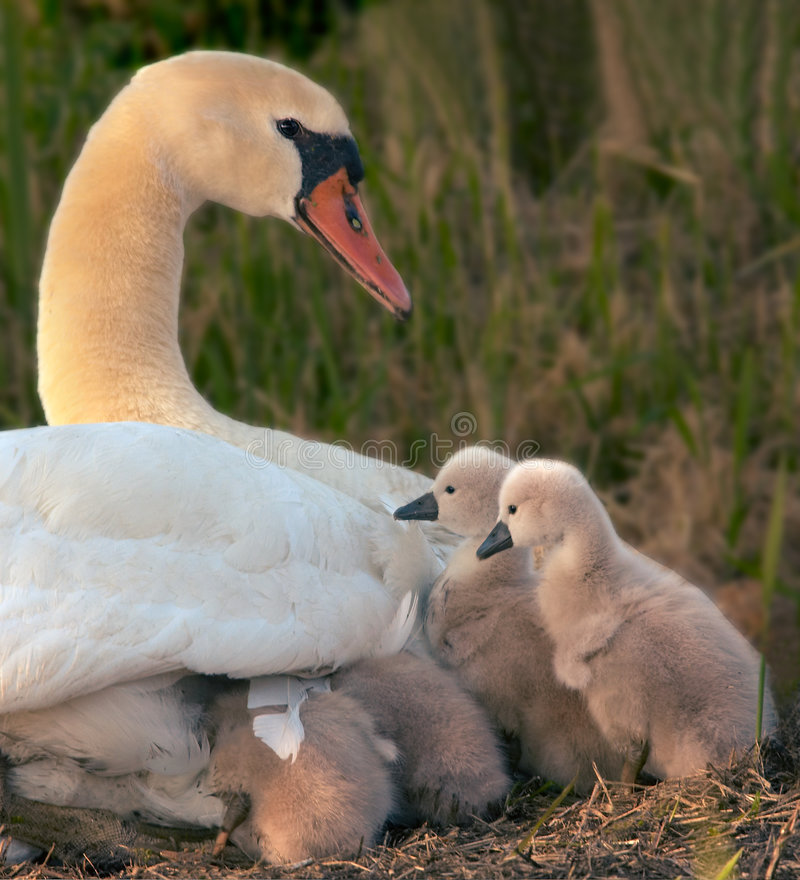 Swan and her babies royalty free stock photos